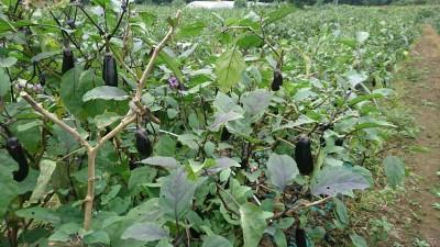 Eggplant field