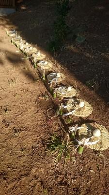 Offerings to the 13 deities enshrined at the Kashima Jinja in Matsuzuka
