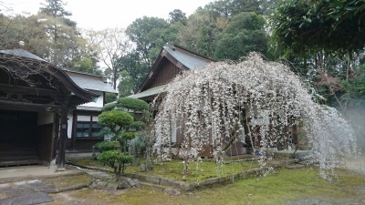 "A magnificent ""weeping cherry"" at the Ho-un ji Temple (法雲寺), not far from the former Fujisawa Station on the Rinrin Road. Ho-un ji is a Zen temple of the Rinzai School (rare in these parts) - one of my favorite places in the Tsukuba area (though actually in Tsuchiura City)"