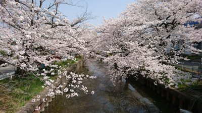 The Shinkawa River Cherry Trees in Tsuchiura