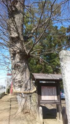 400 year old Zelkova tree