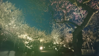 "The best of the 3,000 0r so plum trees (in 100 varieties) lit up at Kairakuen, in Mito. One of Japan`s ""Three Famous Gardens"", Kairakuen was established in 1842 by the Tokugawa Nariaki for the enjoyment, he proclaimed, of everyone in his domain (the Mito Domain)"