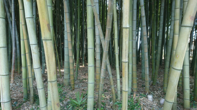 Bamboo grove in Onozaki, Tsukuba. Pleasing to the eye - as well as to the ear... clacking poly-rhythmically with each gentle breeze.
