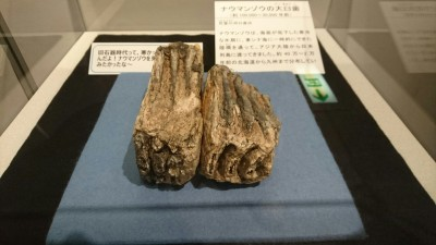 Nauman Elephant teeth