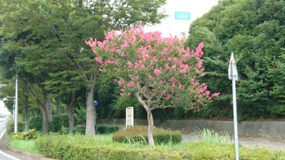 A sarusuberi tree at the corner of Nishi O-dori and the Tsuchiura Gakuen Line (August 29, 2018) provides the only color (besides green) in the whole surrounting area.